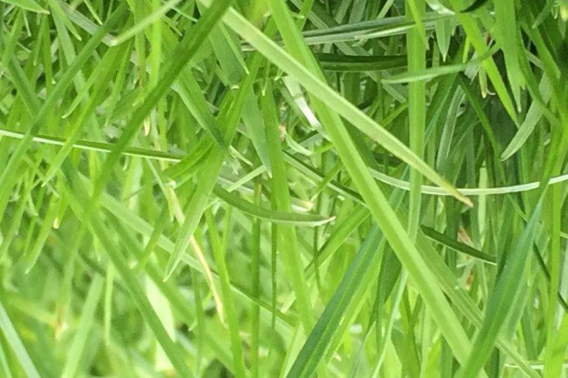 long grass in garden